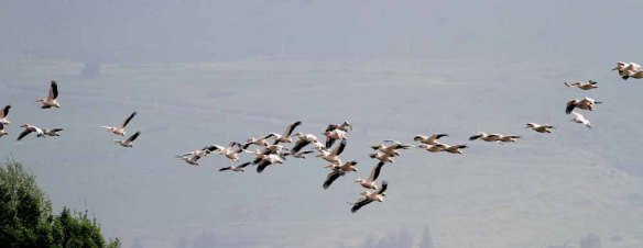 White Pelicans (24)