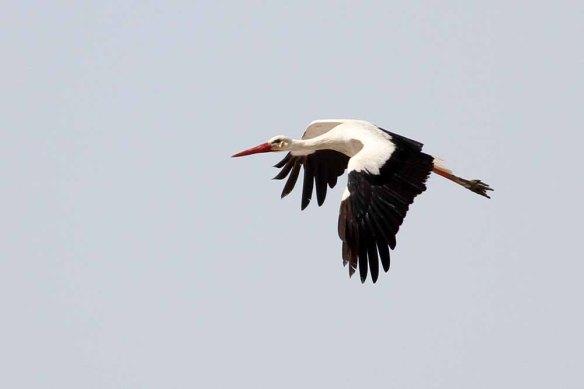 White Stork (16)
