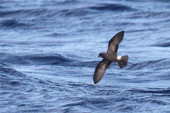 Madeiran Storm Petrel (130)
