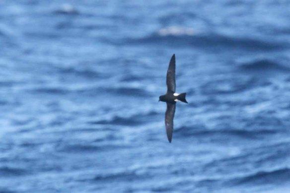 Madeiran Storm Petrel (171)