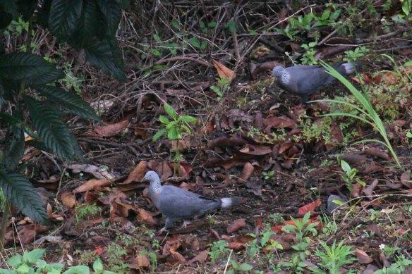 Trocaz Pigeon (21)