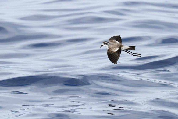 White-faced Storm Petrel (135) screensaver