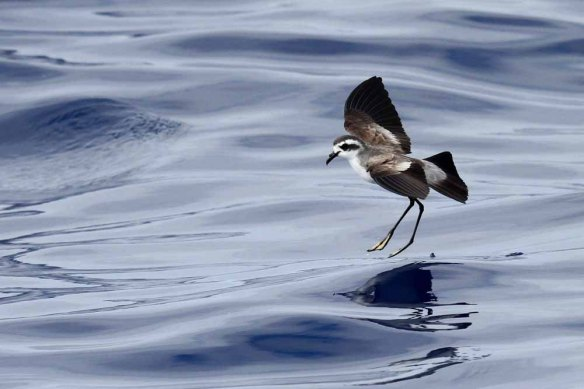 White-faced Storm Petrel (138)