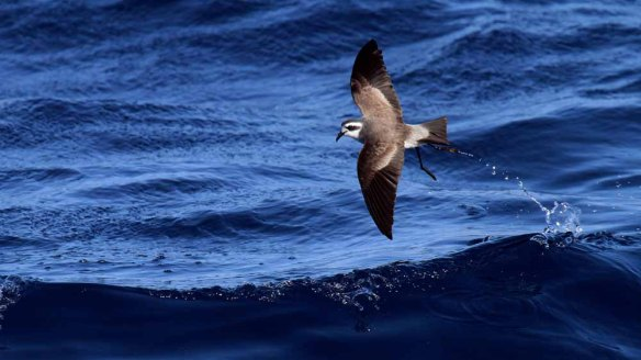 White-faced Storm Petrel (332)