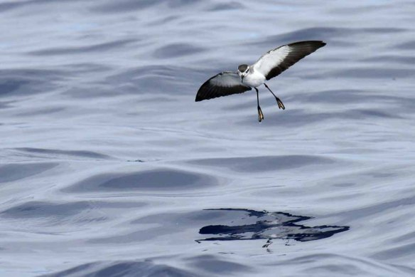 White-faced Storm Petrel (54)