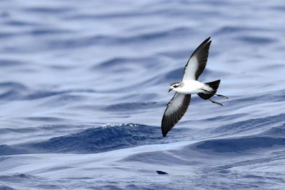 White-faced Storm Petrel (75)