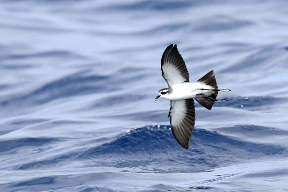 White-faced Storm Petrel (76)