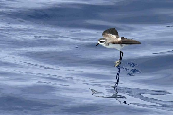 White-faced Storm Petrel (92)