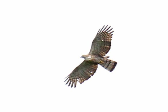 Barred Honey Buzzard (2)