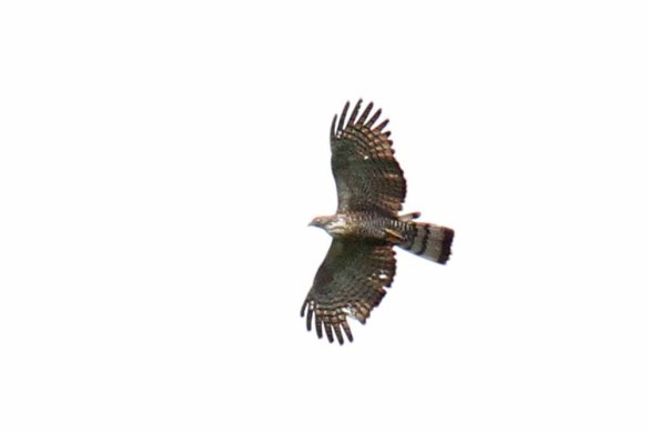 Barred Honey Buzzard (3)