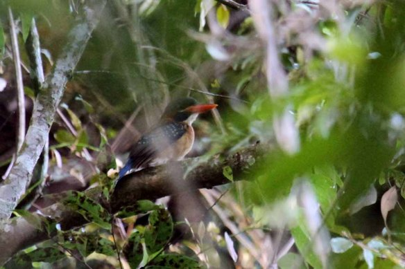 Blue-crowned Wood Kingfisher (2)