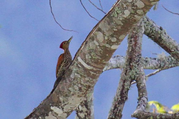 Buff-spotted Flameback (3)