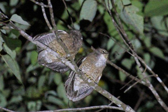 Camiguin Hawk Owl (13)