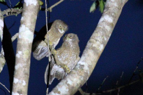 Camiguin Hawk Owl (2)