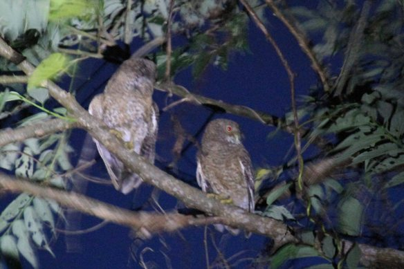 Camiguin Hawk Owl (3)