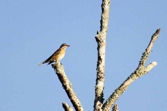 Eye-browed Thrush (2)