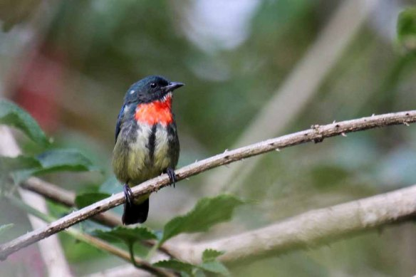 Flame-breasted Flowerpecker (4)