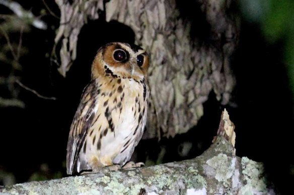 Giant Scops Owl (6)