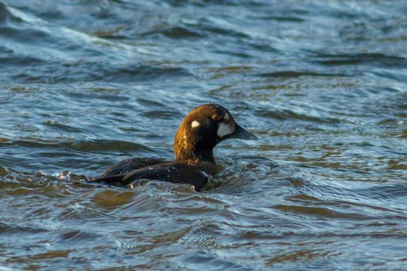 Harlequin Duck, Aberdeen, 06 Jan 2015 (1)