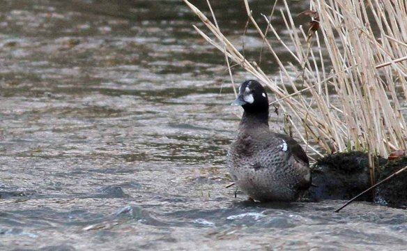 Harlequin Duck, Aberdeen, 06 Jan 2015 (10)