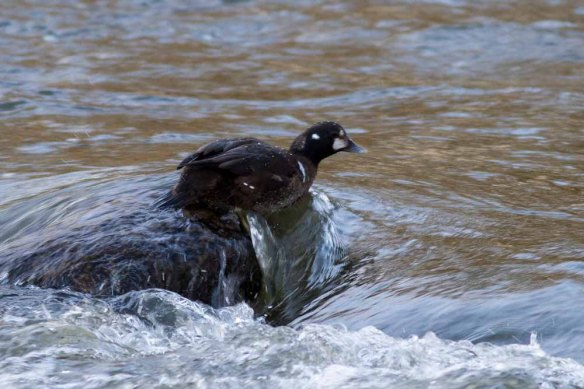 Harlequin Duck, Aberdeen, 06 Jan 2015 (2)