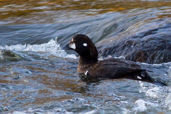 Harlequin Duck, Aberdeen, 06 Jan 2015 (3)