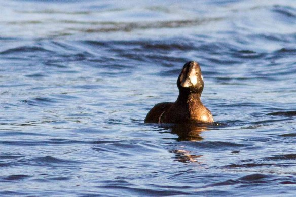 Harlequin Duck, Aberdeen, 06 Jan 2015 (4)