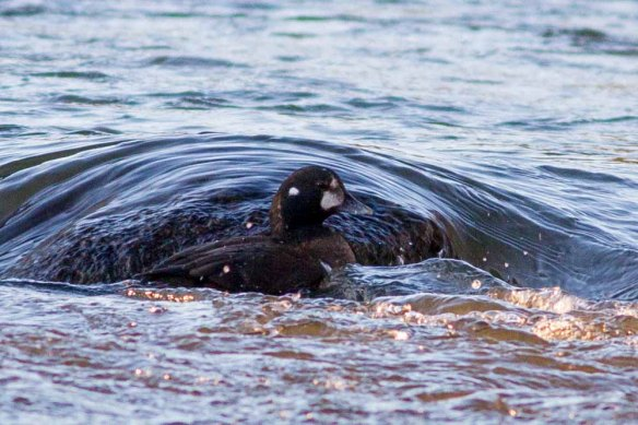 Harlequin Duck, Aberdeen, 06 Jan 2015 (5)