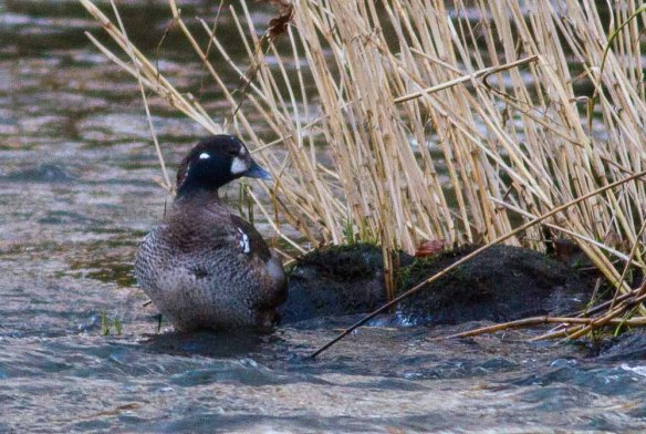 Harlequin Duck, Aberdeen, 06 Jan 2015 (6)