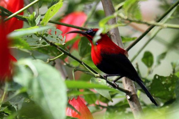 Magnificent Sunbird (1)