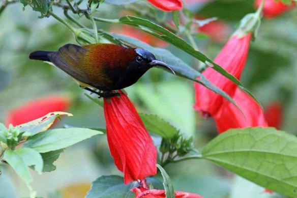 Maroon-naped Sunbird (24)