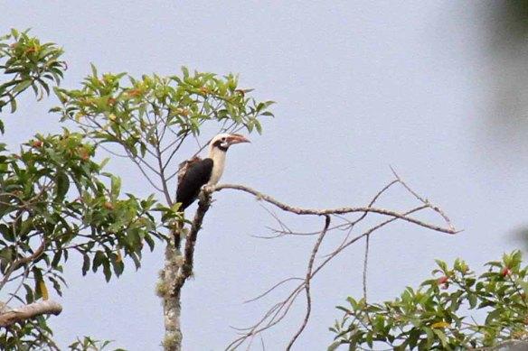 Mindanao Hornbill (1)