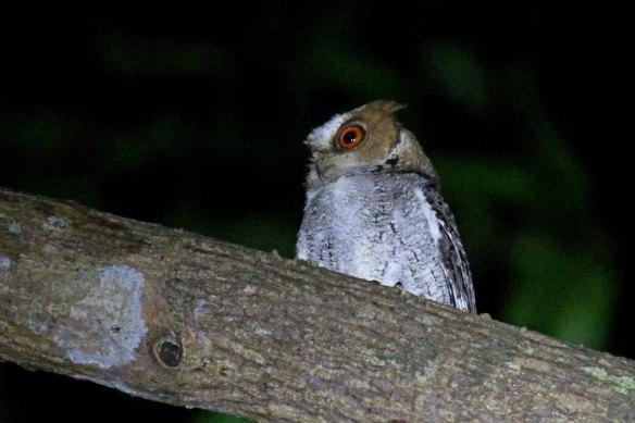 Negros Scops Owl (6)