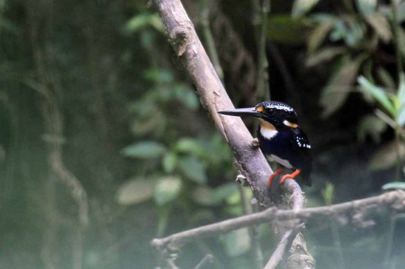 Northern Silvery Kingfisher (25)