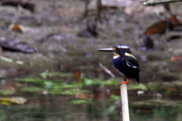 Northern Silvery Kingfisher (9)