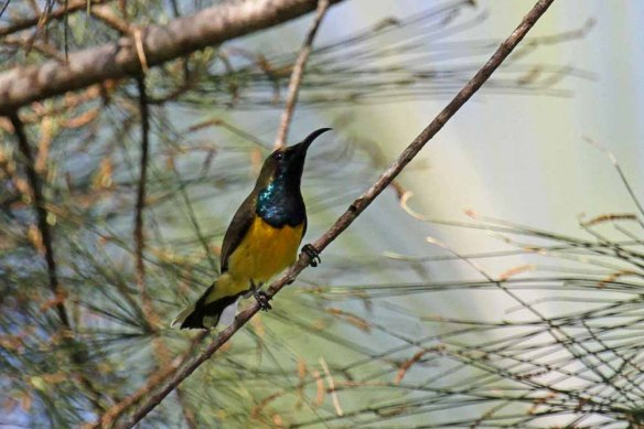 Olive-backed Sunbird (1)