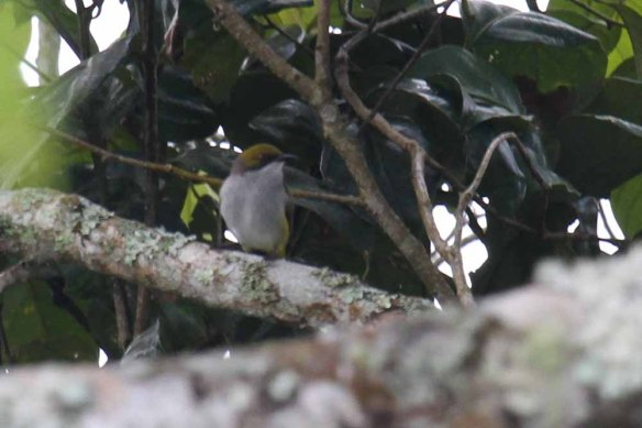 Olive-capped Flowerpecker (2)