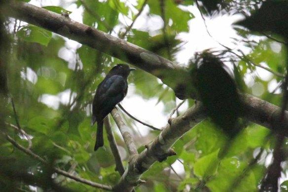 Philippine Drongo Cuckoo (2)