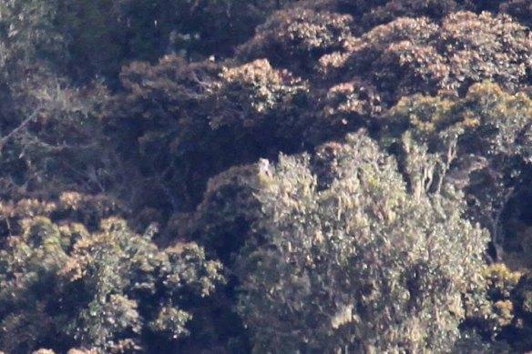 Philippine Eagle (15)