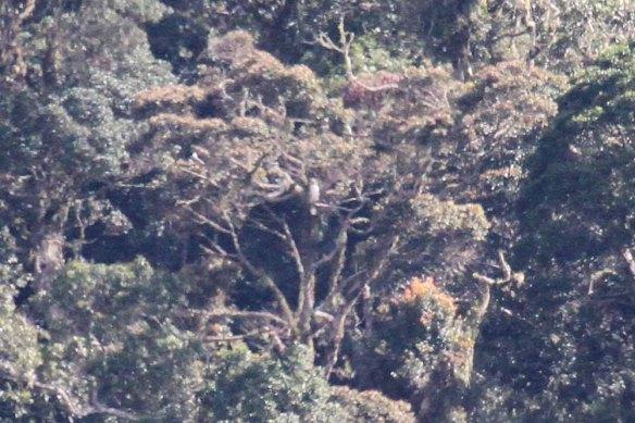 Philippine Eagle (2)
