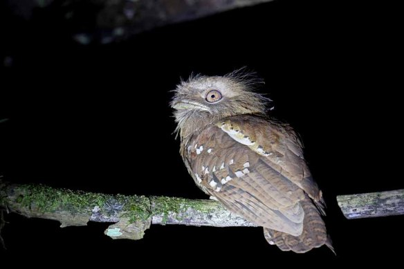Philippine Frogmouth (16)