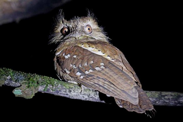 Philippine Frogmouth (35)