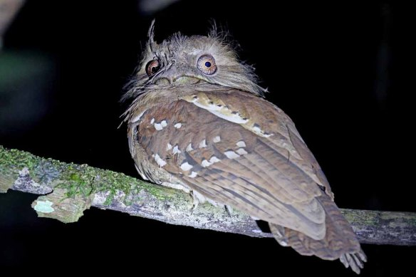 Philippine Frogmouth (42)