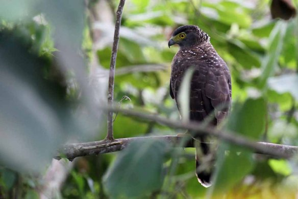 Philippine Serpent Eagle (2)