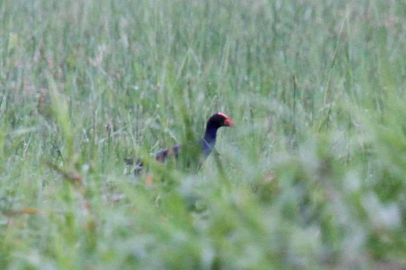 Philippine Swamphen (3) - Copy