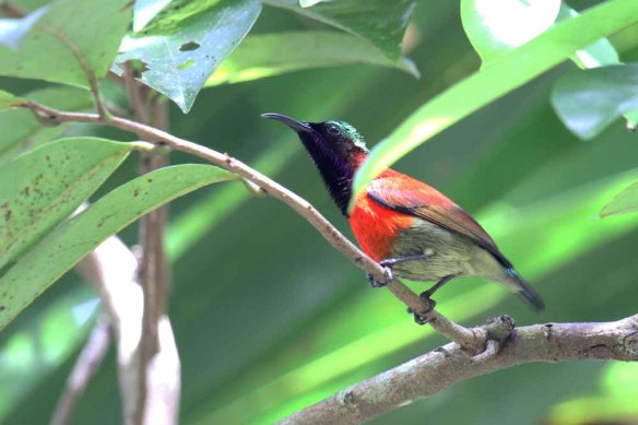 Purple-throated Sunbird (47)