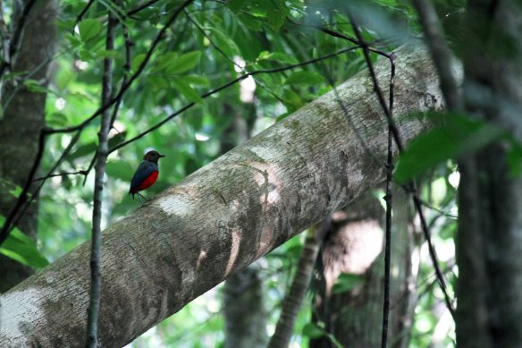 Red-bellied Pitta (17)