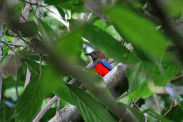 Red-bellied Pitta (3)