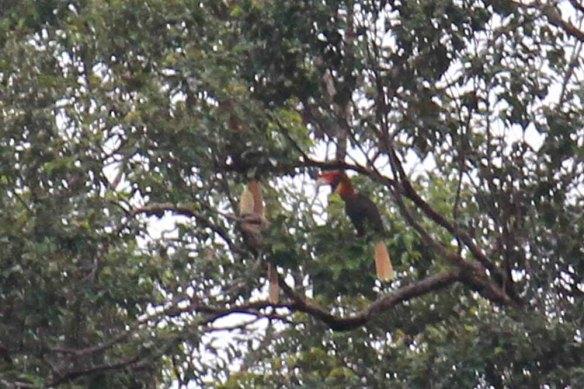 Rufous Hornbills (2)