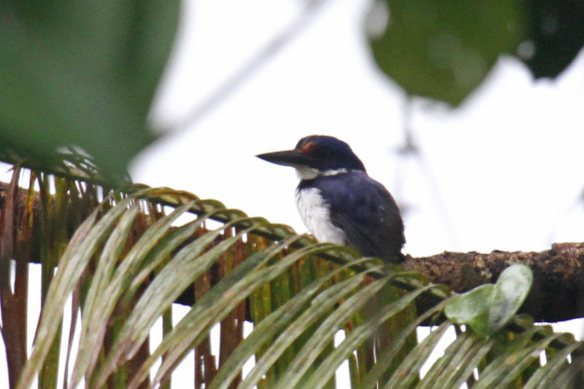 Rufous-lored Kingfisher (12)